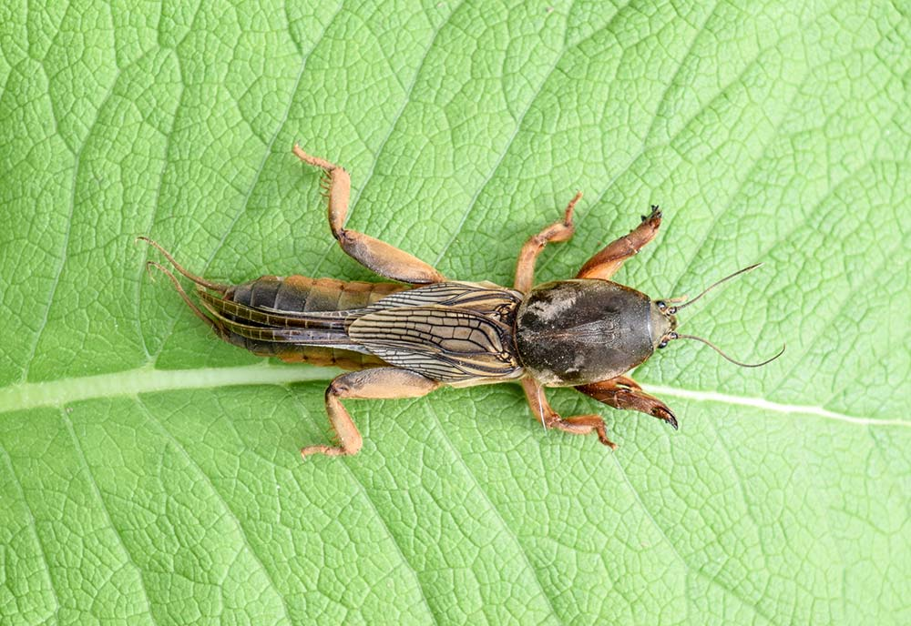 Picture of mole cricket on a leaf in Baton Rouge Louisiana