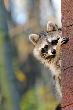 raccoon on a house