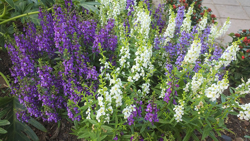 Picture of beautiful flowers called angelonia in baton rouge louisiana