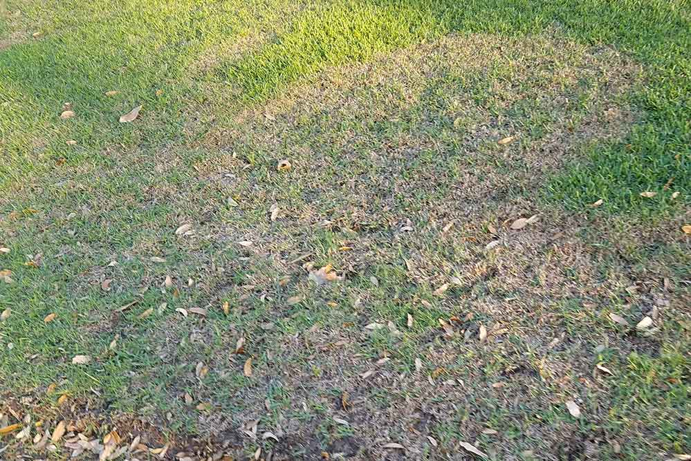 Picture of brown patch fungus in grass in baton rouge louisiana