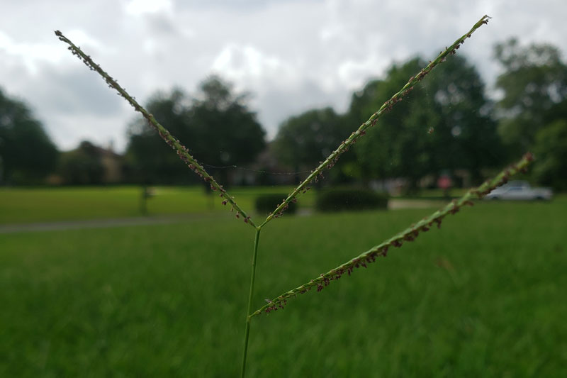 Picture of carpetgrass seed head at front lawn of a home in Baton Rouge Louisiana