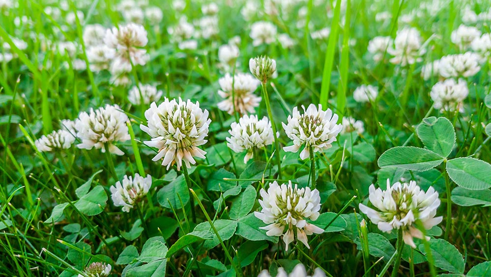 Picture of clovers in grass in baton rouge