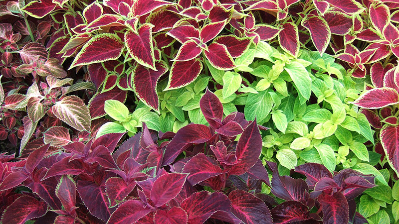 Picture of a landscape bed of coleus in New Orleans Louisiana