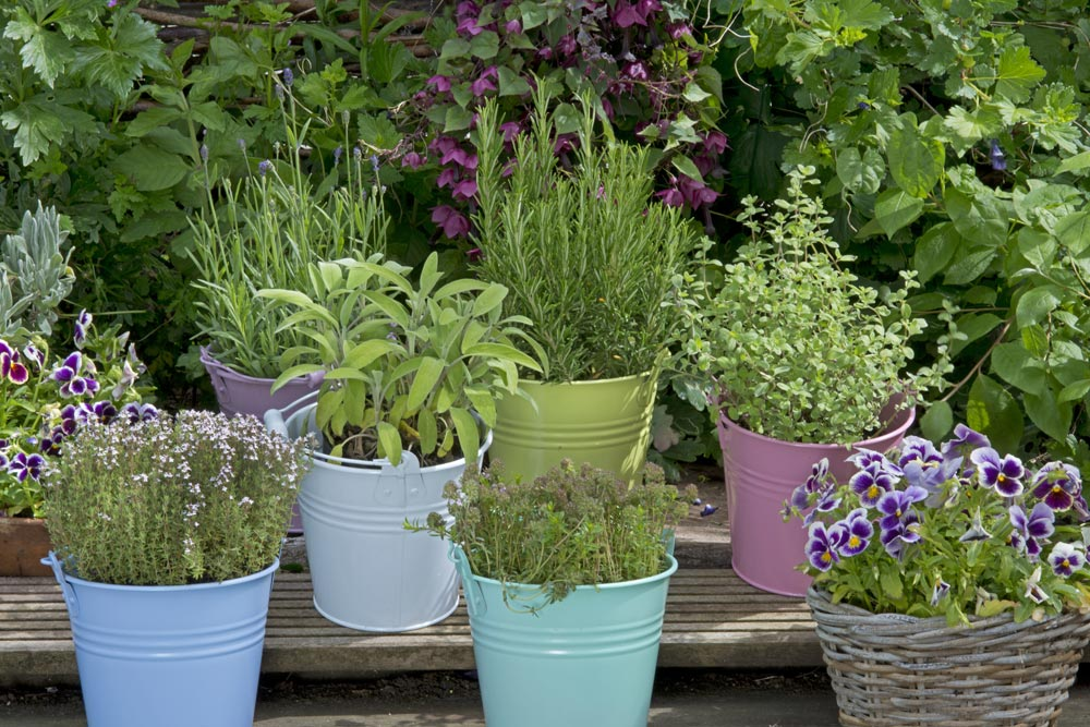 Picture of potted herbs like thyme, rosemary, and sage