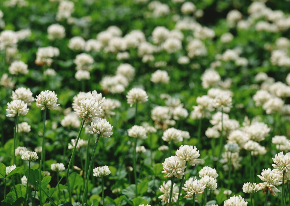 Picture of white clover in Baton Rouge